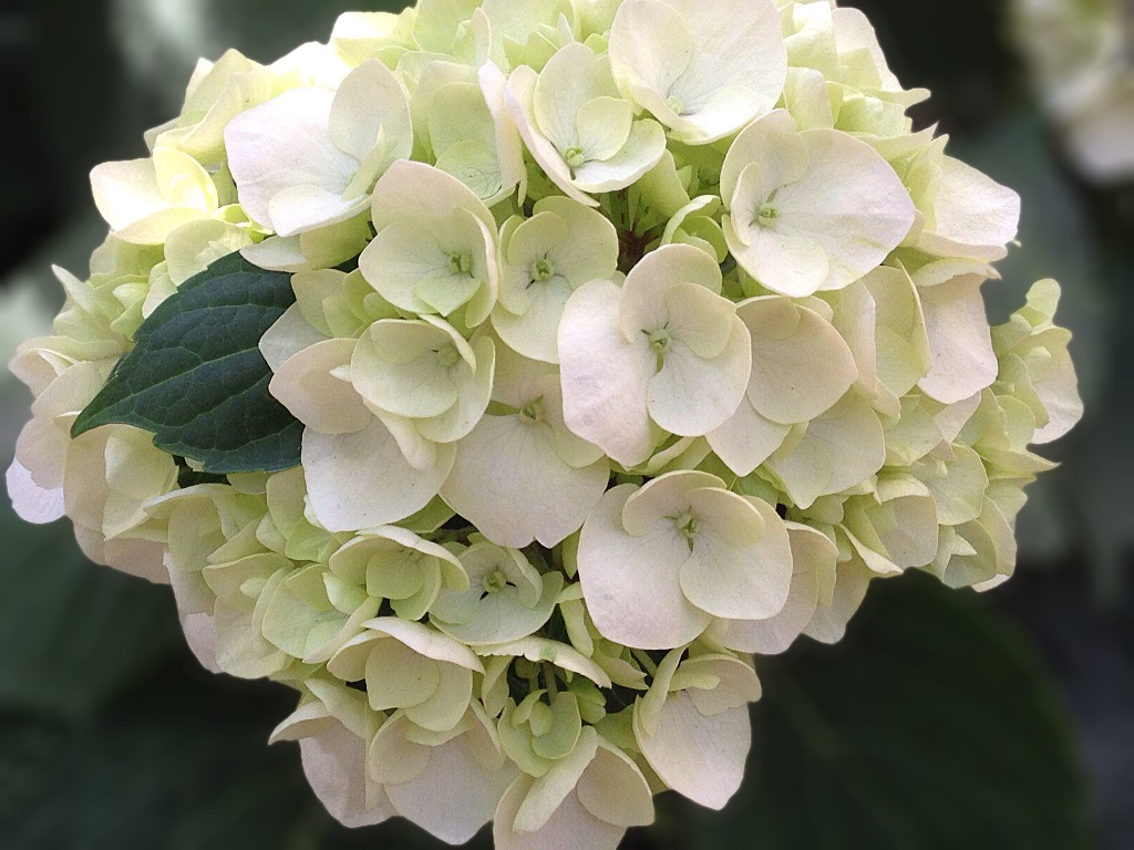 Guide To The Smithsonian- The Botanical Gardens has gorgeous flowers, especially this white one with small petals