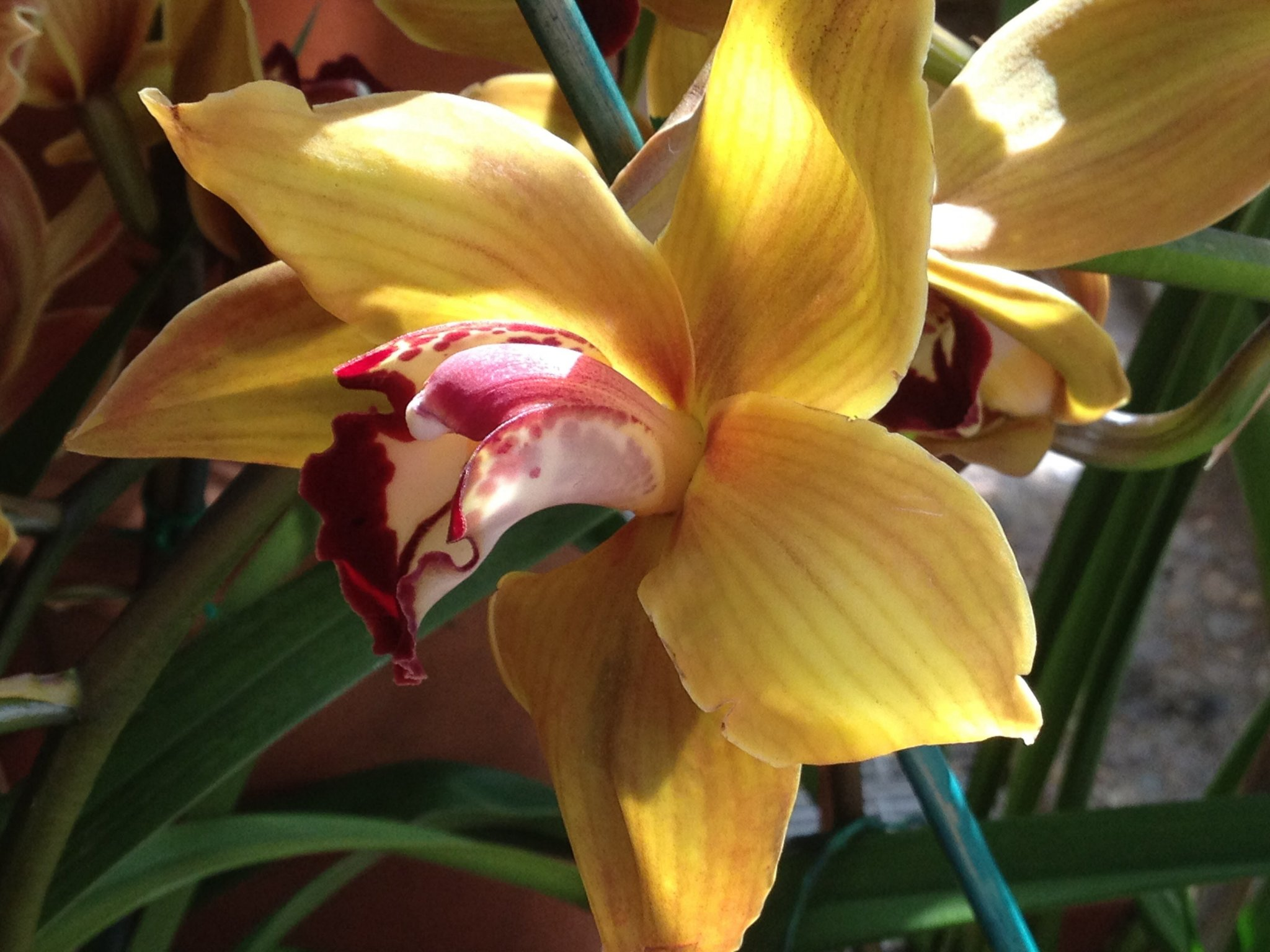Guide to the Smithsonian: This is a beautiful yellow iris-esque flower.