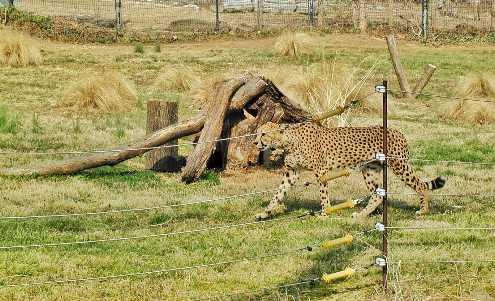 Guide to the Smithsonian: Cheetah at the Cheetah Conservation Center at the National Zoo