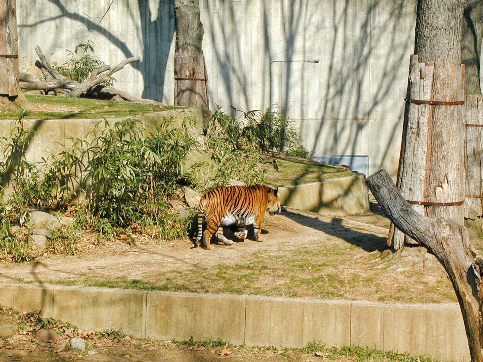 Guide to the Smithsonian: Tiger in the National Zoo