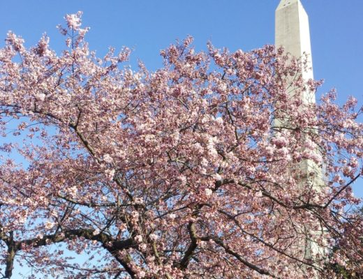 best time to visit washington dc : Cherry Blossoms