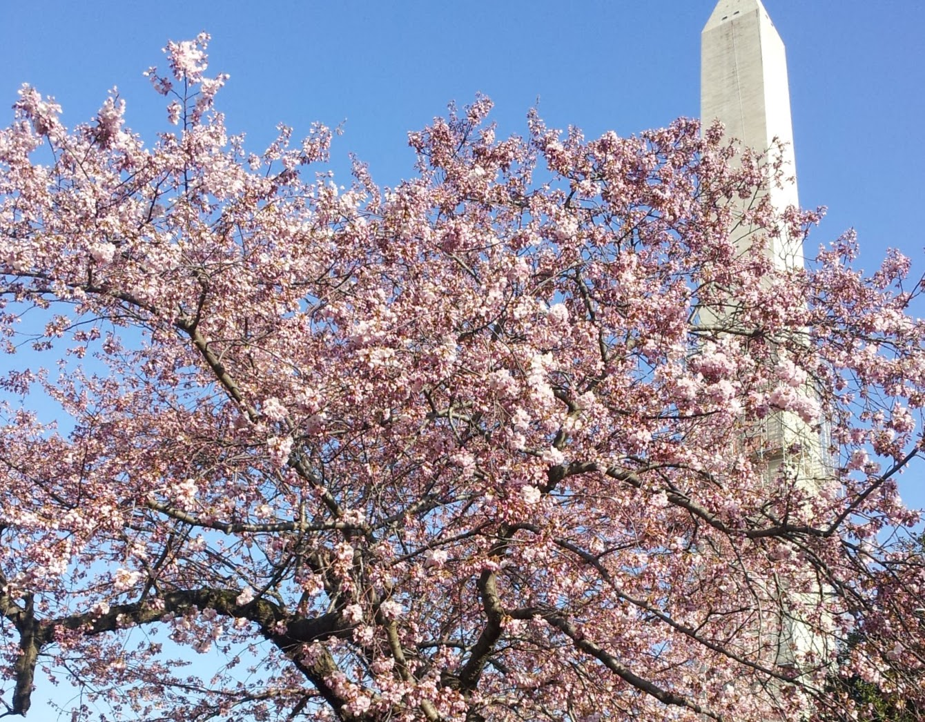 Best Time To Visit Washington Dc Cherry Blossoms