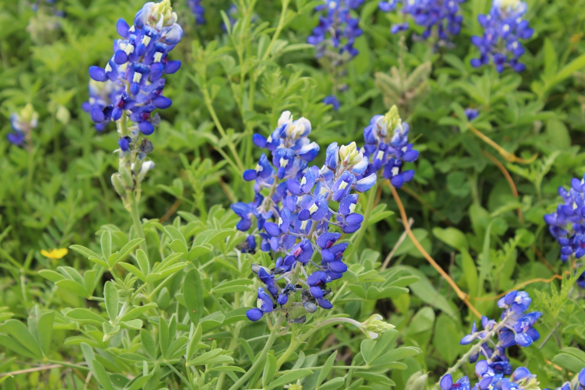 Close Up shot of Bluebonnets in Bluebonnet Park - one of the Best Places to See Bluebonnets in Ennis, Texas
