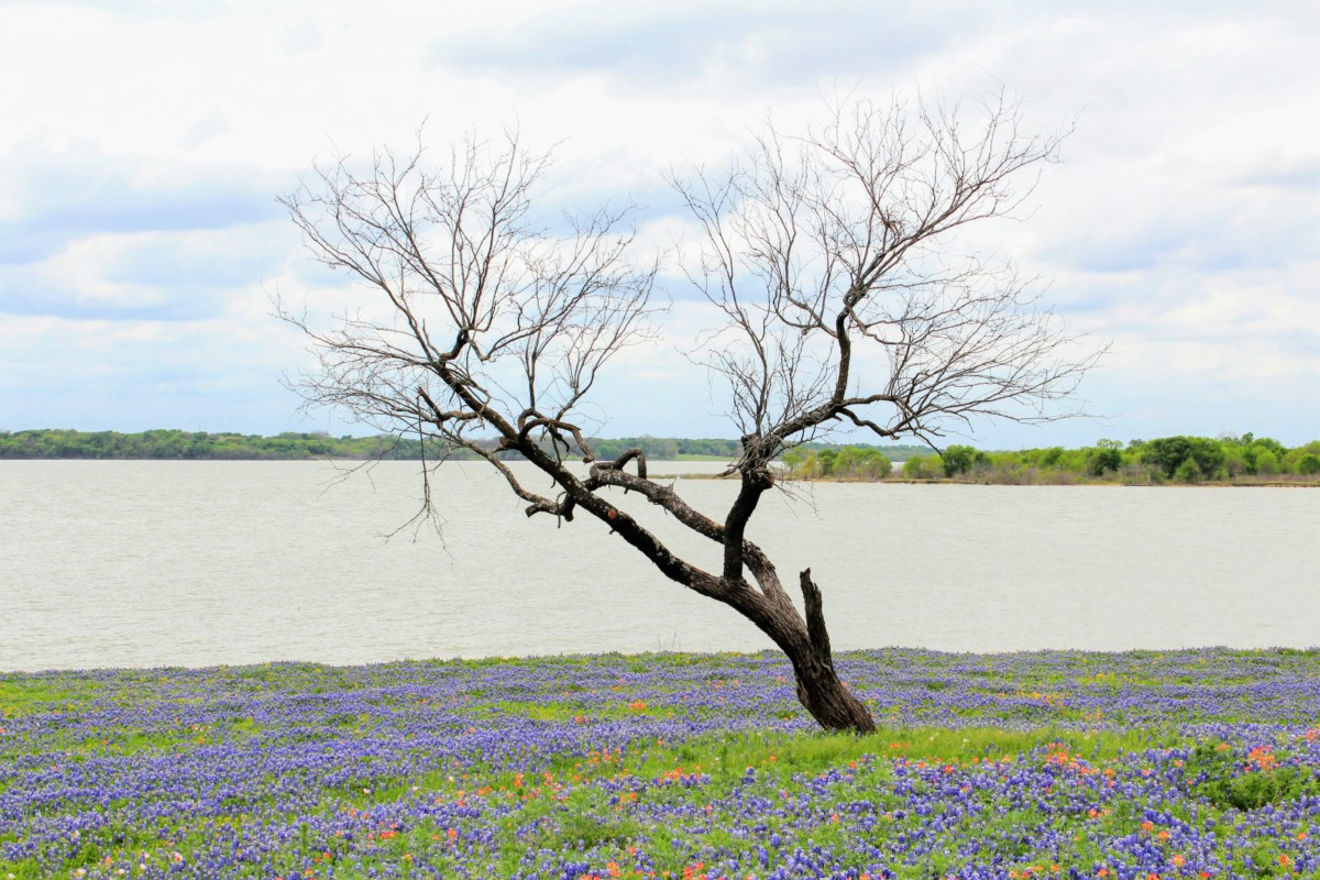 Life and Death - Dead Tree in Spring Flowers- a photo of Bluebonnets in one of the Best Places to See Bluebonnets in Ennis, Texas
