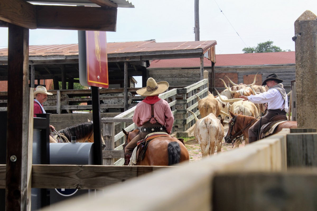 Watching cowboys herd in cattle is one of the top things to do at the Fort Worth Stockyards .