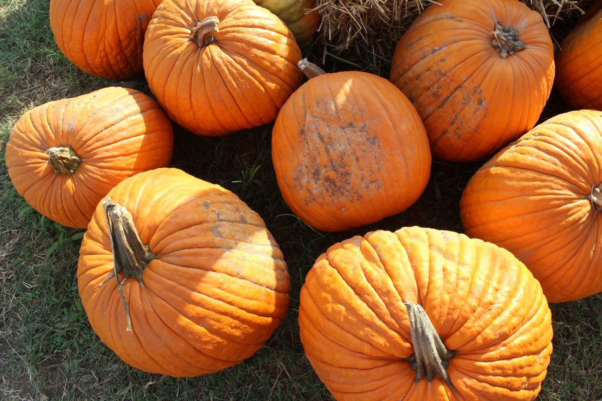 Flatlay Pumpkin Shot at Hall's Pumpkin Farm.