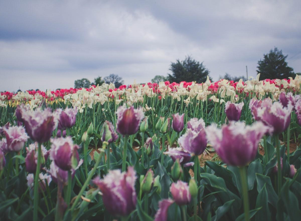 Tulips in Texas across rolling fields