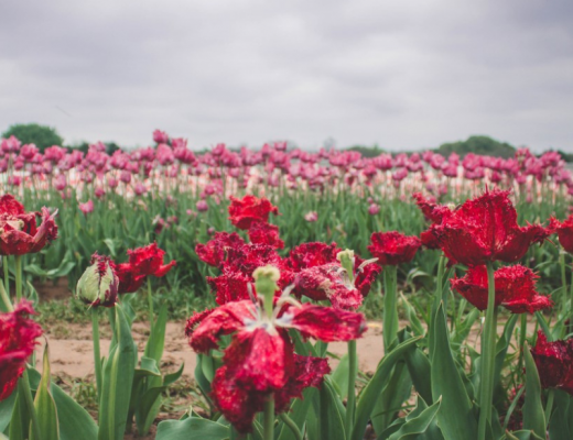 Tulip Farm In Texas Featured Image