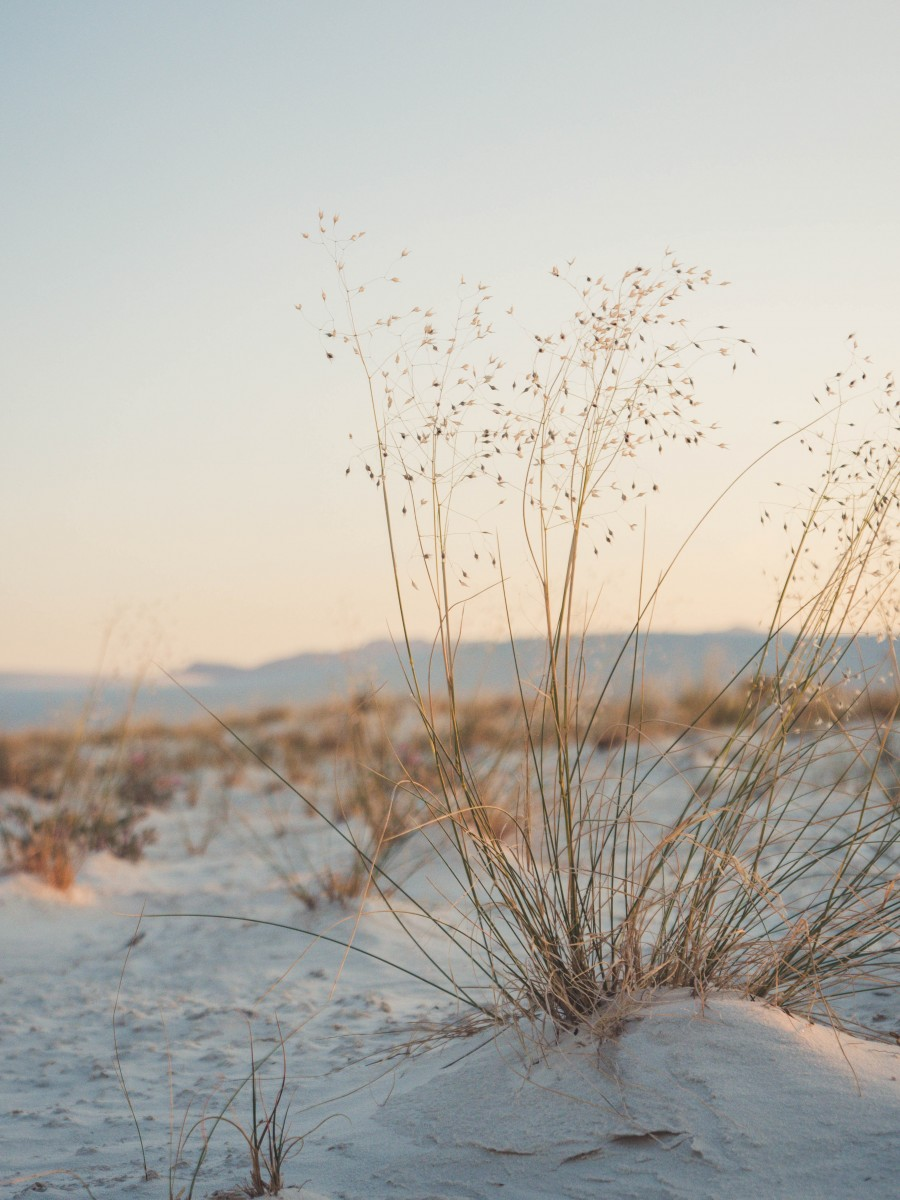 plants growing in White Sands National Monument