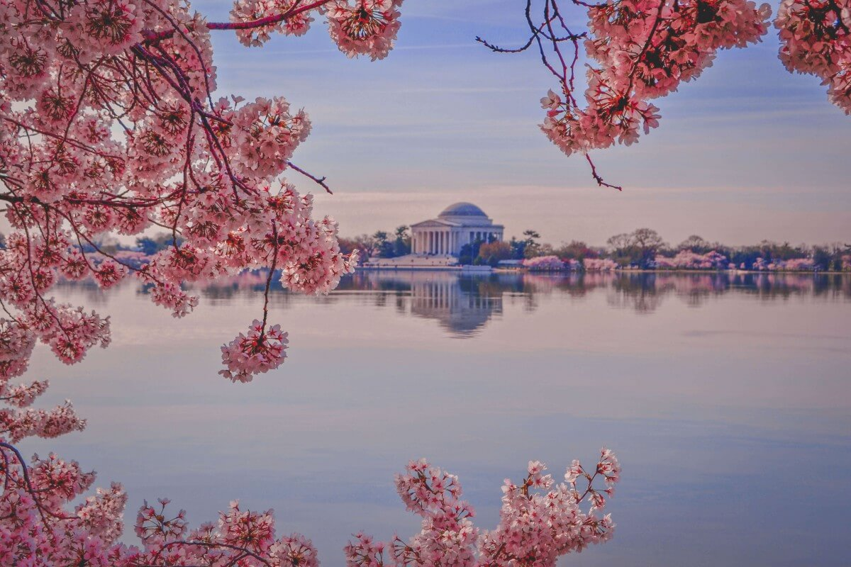 Cherry blossoms snaking around the Tidal Basin in spring in Washington D.C.