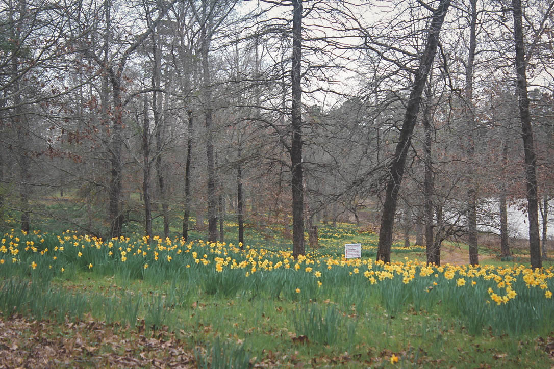 Things to do in East Texas: Mrs. Lee's daffodil gardens