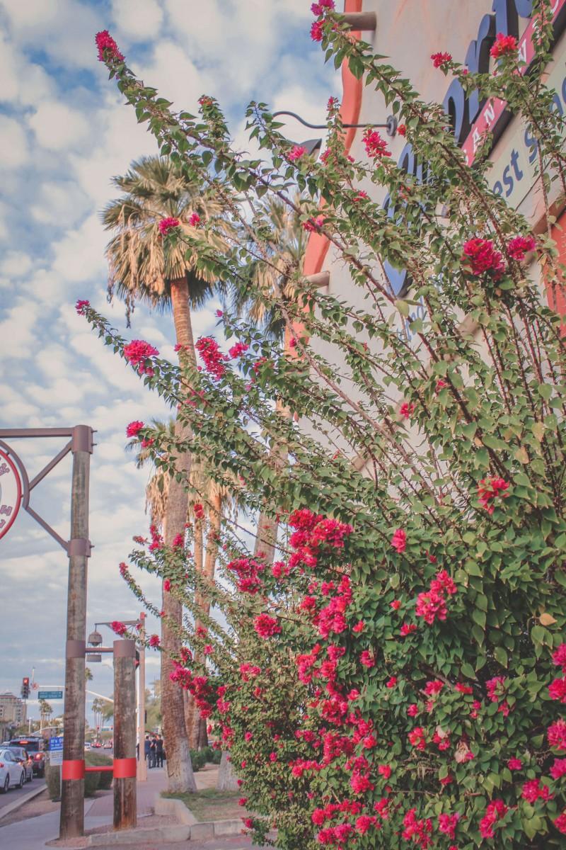 Flowers in bloom in winter in Scottsdale