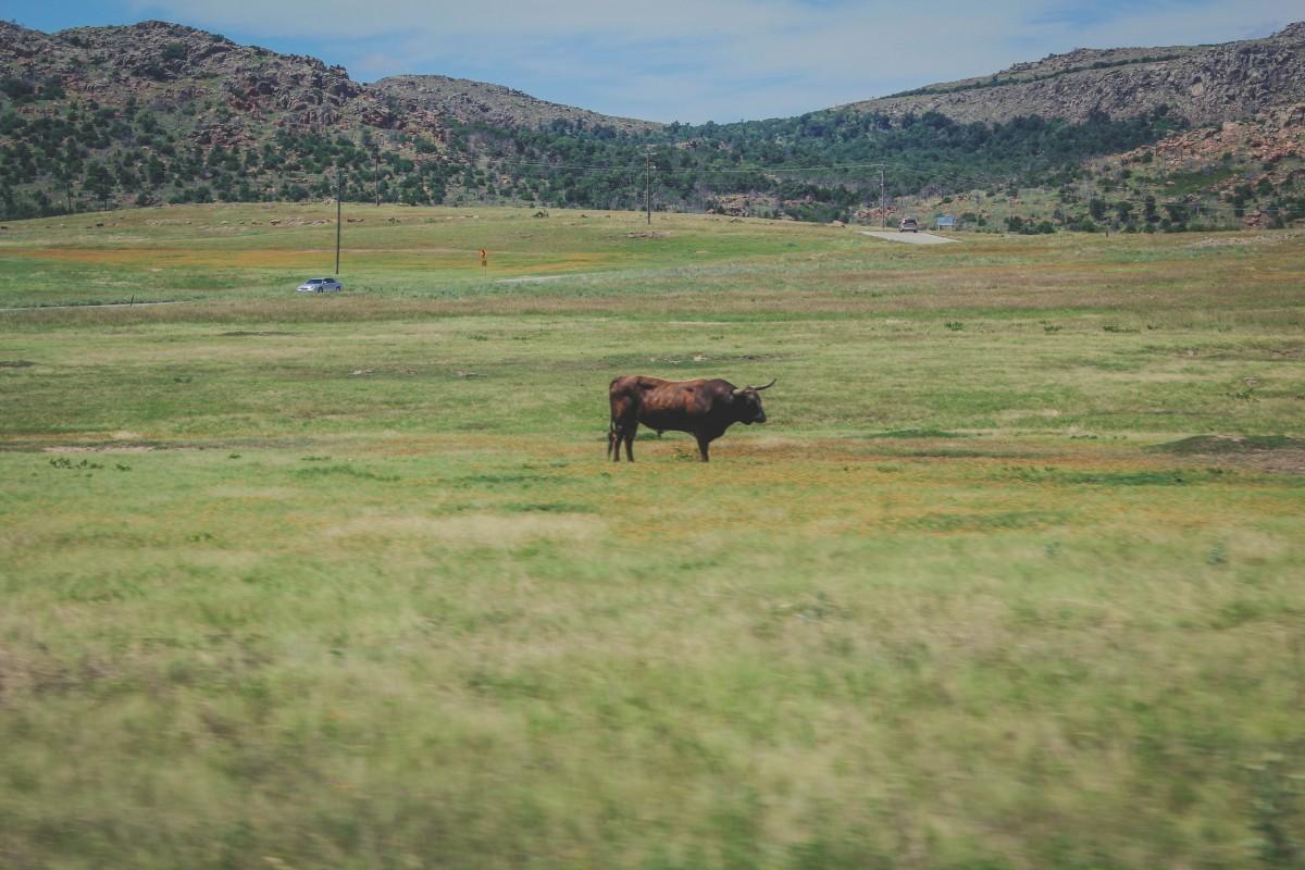 Wild longhorn grazing