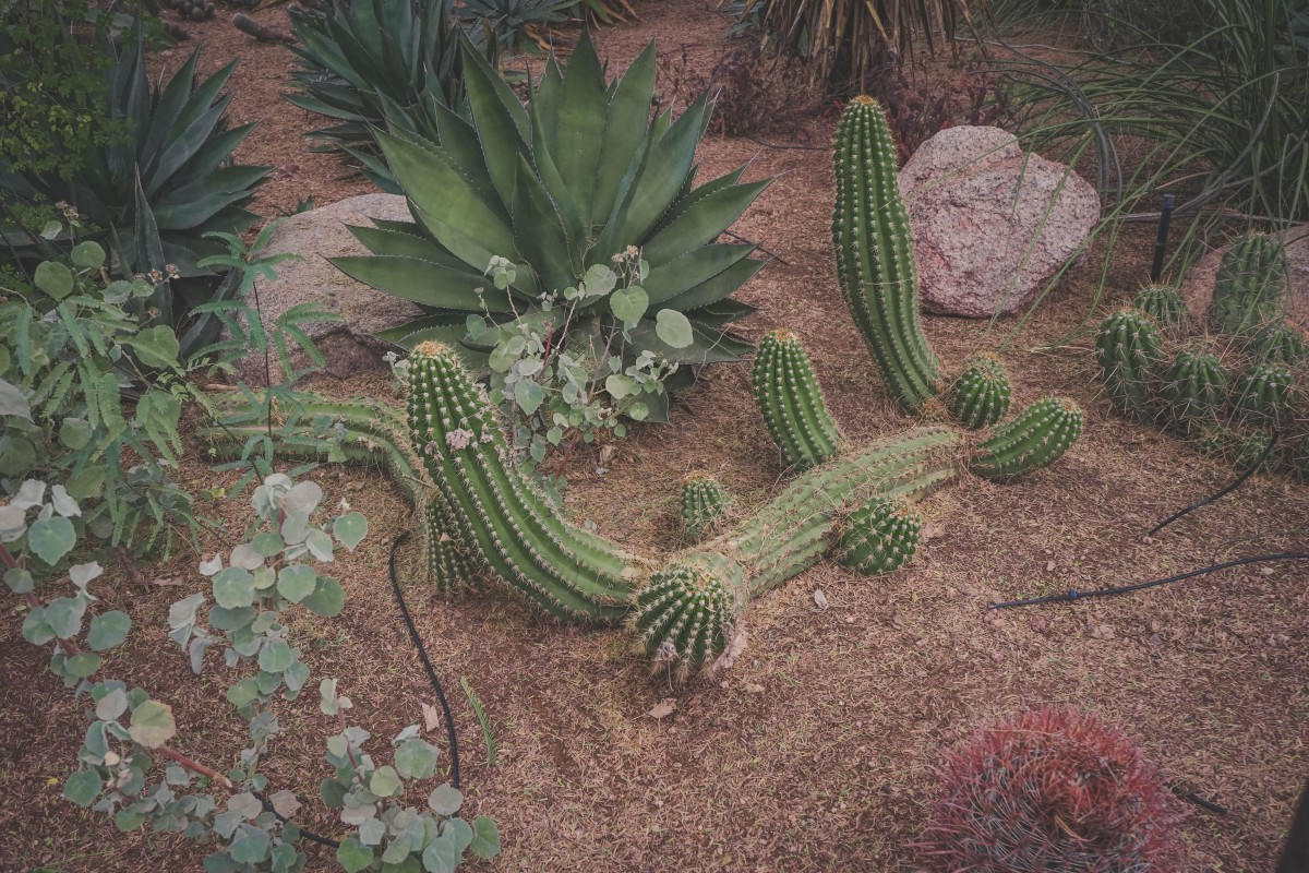 cacti that you could find in a xeriscape garden