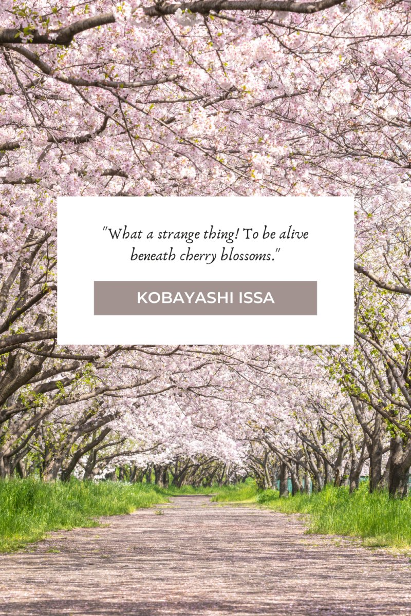 What a strange thing! To be alive beneath cherry blossoms.