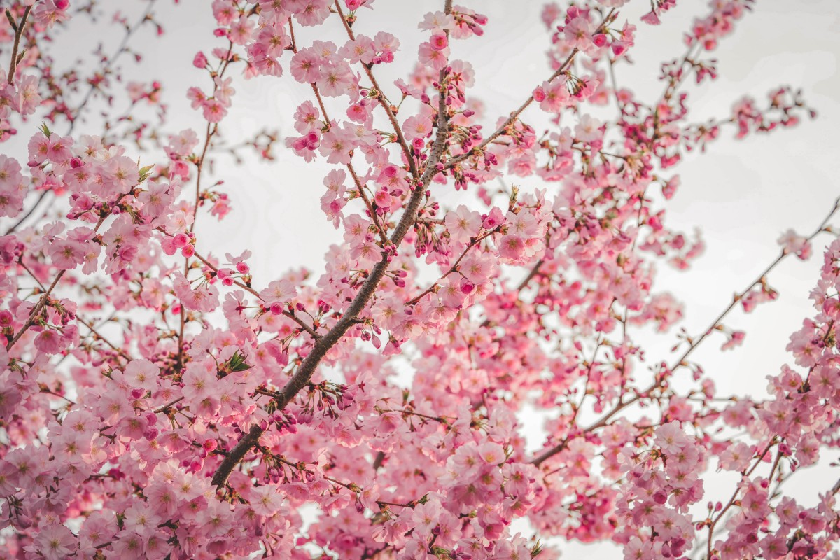 Cherry Blossom Quotes About Life And Renewal Passport To Eden