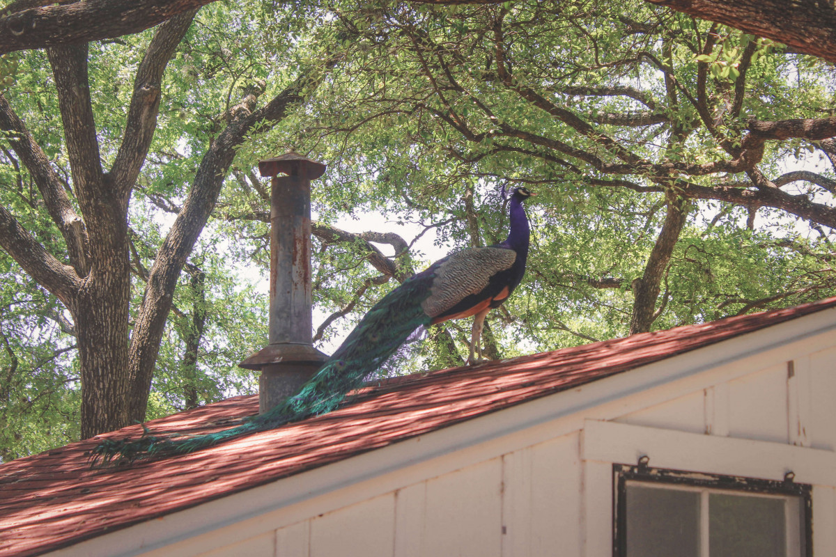 Exploring Mayfield Garden and seeing stunning Indian blue peacocks is one of the most underrated things to do in Austin